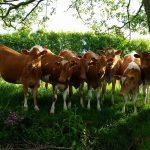 Heifer-River-Cows